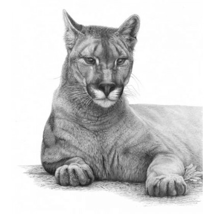 Cougar by David Dancey-Wood