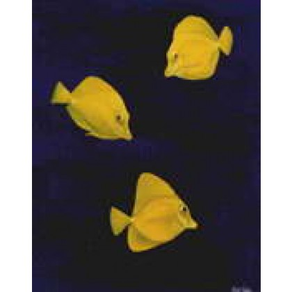 Yellow Tangs by Keith Siddle