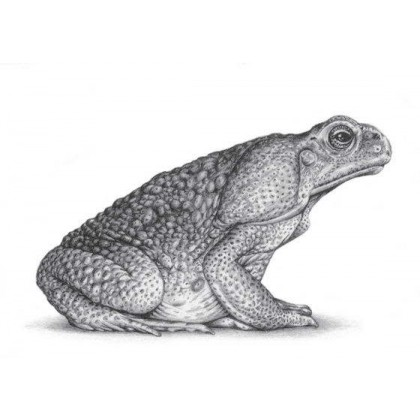 Marine Toad by David Dancey-Wood