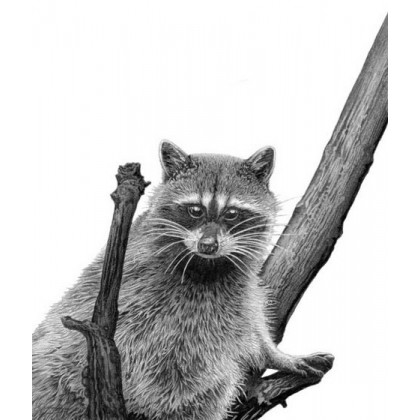 Racoon by David Dancey-Wood