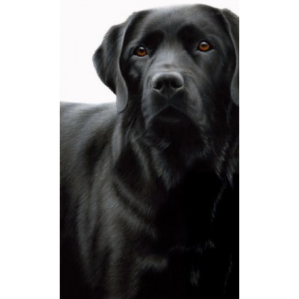 Contrasts - Black Lab