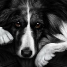 Dog Tired - Border Collie
