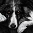 Dog Tired - Border Collie