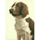 Welsh Springer Spaniel by Nigel Hemming